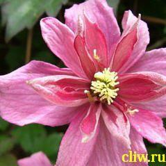 Клематис горный (clematis montana) лютиковые (ranunculaceae) broughton star