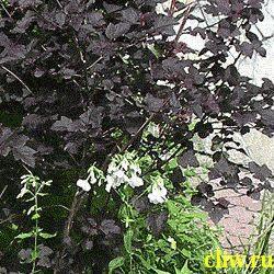 Пузыреплодник калинолистный (physocarpus opulifolius) розоцветные (rosaceae) diabolo
