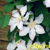 Клематис  (clematis ) лютиковые (ranunculaceae) серебряный ручеек