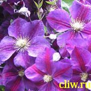 Клематис  (clematis ) лютиковые (ranunculaceae) star of india