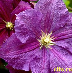 Клематис  (clematis ) лютиковые (ranunculaceae) victoria
