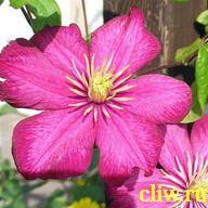 Клематис  (clematis ) лютиковые (ranunculaceae) ville de lyon