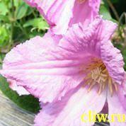 Клематис  (clematis ) лютиковые (ranunculaceae) аленушка