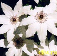 Клематис  (clematis ) лютиковые (ranunculaceae) балерина