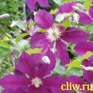Клематис  (clematis ) лютиковые (ranunculaceae) восток