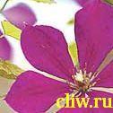 Клематис  (clematis ) лютиковые (ranunculaceae) негритянка