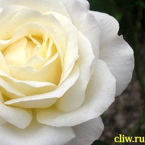 Роза  (rosa ) розоцветные (rosaceae) chopin