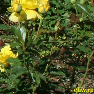 Роза  (rosa ) розоцветные (rosaceae) friesia