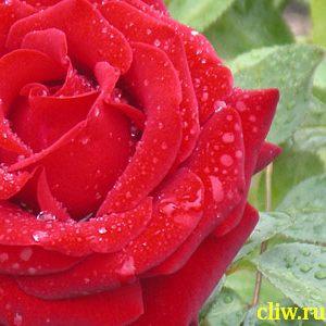 Роза  (rosa ) розоцветные (rosaceae) ingrid bergman