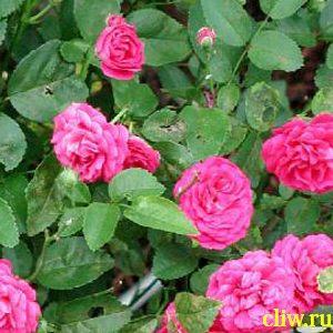 Роза  (rosa ) розоцветные (rosaceae) lovely fairy