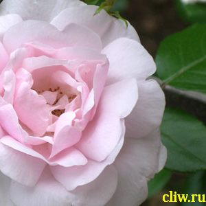 Роза  (rosa ) розоцветные (rosaceae) new daun