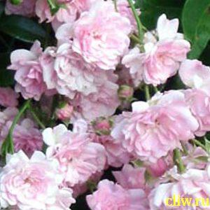Роза  (rosa ) розоцветные (rosaceae) the fairy