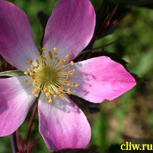 Роза сизая (rosa glauca) розоцветные (rosaceae)