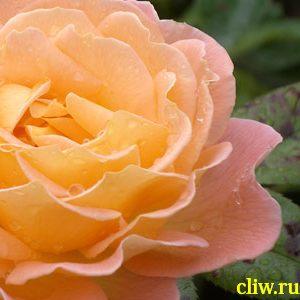 Роза  (rosa ) розоцветные (rosaceae) westerland