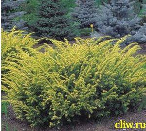 Тис ягодный (taxus baccata) тисовые (taxaceae) elegantissima