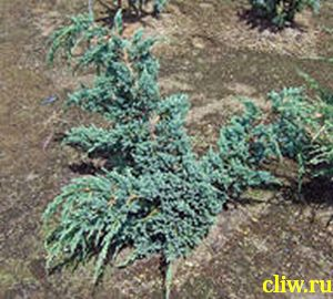 Можжевельник чешуйчатый (juniperus squamata) кипарисовые (cupressaceae) blue spider
