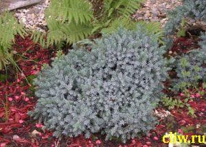 Можжевельник чешуйчатый (juniperus squamata) кипарисовые (cupressacaea) blue star