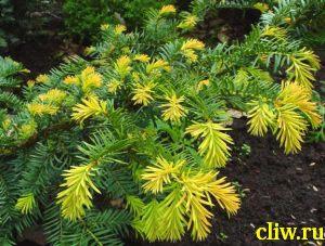 Тис ягодный (taxus baccata) тисовые (taxaceae) summergold