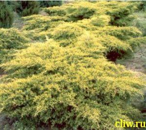 Можжевельник средний (juniperus media) кипарисовые (cupressaceae) gold coast