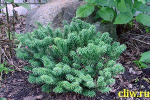 Пихта бальзамическая (abies balsamea) сосновые (pinaceae) nana