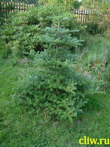 Пихта корейская (abies koreana) сосновые (pinaceae)