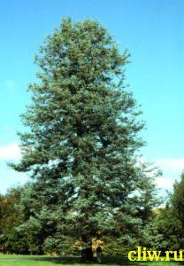 Пихта высокая (abies procera) сосновые (pinaceae)