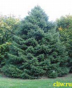 Пихта испанская (abies pinsapo) сосновые (pinaceae)