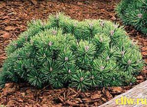 Сосна горная (pinus mugo) сосновые (pinaceae) gnom