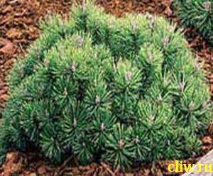 Сосна горная (pinus mugo) сосновые (pinaceae) mops