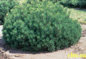 Сосна горная (pinus mugo) сосновые (pinaceae)