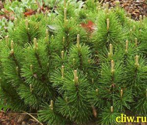Сосна горная (pinus mugo) сосновые (pinaceae) mughus