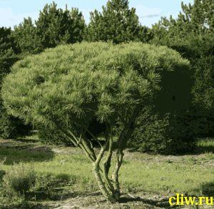Сосна густоцветковая (pinus densiflora) сосновые (pinaceae) umbraculifera