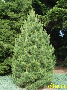 Сосна кедровая (pinus cembra) сосновые (pinaceae)