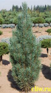 Сосна обыкновенная (pinus sylvestris) сосновые (pinaceae) fastigiata