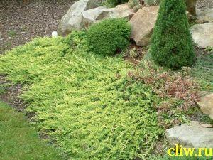 Можжевельник горизонтальный (juniperus horizontalis) кипарисовые (cupressacaea) golden carpet
