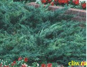 Можжевельник горизонтальный (juniperus horizontalis) кипарисовые (cupressaceae) hughes