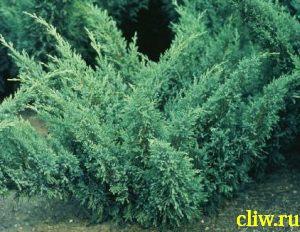 Можжевельник казацкий (juniperus sabina) кипарисовые (cupressaceae) blue donau