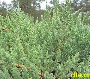 Можжевельник горизонтальный (juniperus horizontalis) кипарисовые (cupressaceae) prostrata