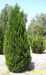 Можжевельник китайский (juniperus chinensis) кипарисовые (cupressaceae) спартан