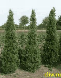 Можжевельник китайский (juniperus chinensis) кипарисовые (cupressaceae) keteleerii