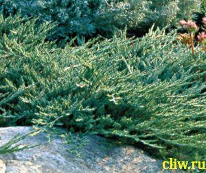 Можжевельник горизонтальный (juniperus horizontalis) кипарисовые (cupressaceae) wiltonii