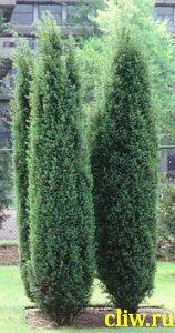 Можжевельник обыкновенный (juniperus communis) кипарисовые (cupressaceae) hibernica