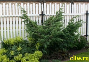 Можжевельник китайский (juniperus chinensis) кипарисовые (cupressacaea) blue alps