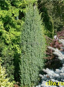 Можжевельник обыкновенный (juniperus communis) кипарисовые (cupressaceae) meyer