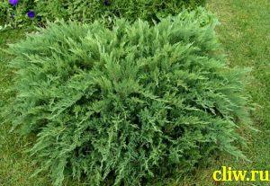 Можжевельник казацкий (juniperus ) кипарисовые (cupressacaea) tamariscifolia
