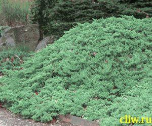 Можжевельник лежачий (juniperus procumbens) кипарисовые (cupressaceae) nana