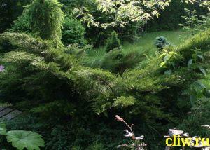 Можжевельник средний (juniperus media) кипарисовые (cupressaceae) mint julep
