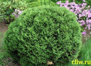 Туя западная (thuja occidentalis) кипарисовые (cupressacaea) hoserii