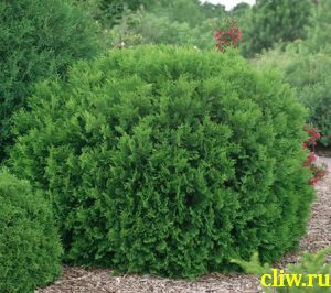 Туя западная (thuja occidentalis) кипарисовые (cupressaceae) woodwardii