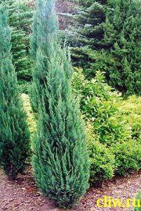 Кипарисовик лавсона (chamaecyparis lawsoniana) кипарисовые (cupressaceae) columnaris